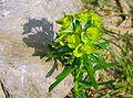 Euphorbia cyparissias Sava.JPG