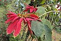 Euphorbia pulcherrima 01.JPG