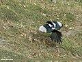 Eurasian Magpie (Pica pica bactriana) (15886121781).jpg