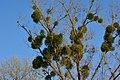 European Mistletoe Growing On Trees.jpg