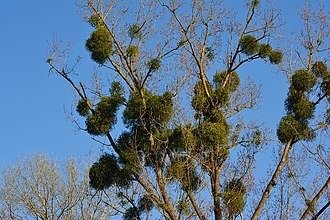 Ectosymbiosis - European mistletoe is an example of an ectosymbiotic parasite that lives on top of trees and removes nutrients and water.