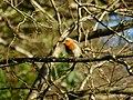 European Robin in a Tree.jpg