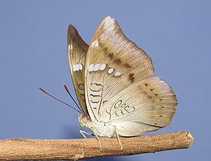 Euthalia aconthea, underside of wing