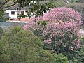 Exemplar de Paineiras Lago Azul. - panoramio.jpg
