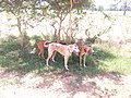 FULANI HUNTING DOGS IN FALGORE FOREST KANO STATE (8).jpg