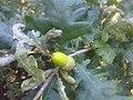 Fagales - Quercus robur - 012.jpg