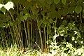 Fallopia japonica (3).jpg