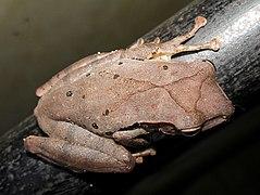 False hour-glass tree frog @ Kanjirappally 03.jpg