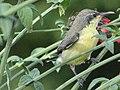 Female Purple Sunbird on a Russelia Shrub 02.jpg