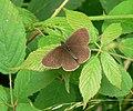 Female Ringlet butterfly at Hawkbatch - geograph.org.uk - 894670.jpg