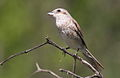 Female red-backed shrike, Lanius collurio at Marakele National Park, Limpopo, South Africa (15696973234).jpg