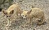 Fennec Foxes.jpg