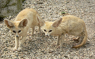 Fennec fox - Two fennec foxes