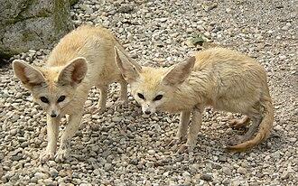 Fennec fox - Two fennec foxes.