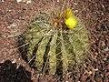 Ferocactus histrix 2c.JPG