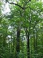 Feuillus dans les bois de Bannoncourt.JPG