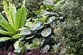 Ficus-dammaropsis-02.jpg