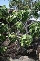 Ficus abutilifolius MS 10385.jpg