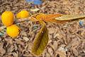 Ficus drupacea 14.JPG