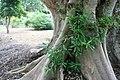 Ficus racemosa 1zz.jpg