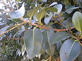 Ficus rubiginosa 3c.JPG