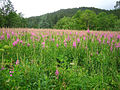 Field of Fireweed.jpg