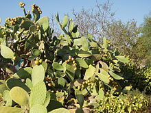 Esemplare arborescente di O. ficus-indica