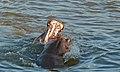 Fighting Hippos (Hippopotamus amphibius) (6021002571).jpg