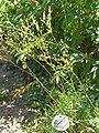 Filipendula hexapetala1.jpg