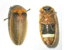 Unidentified species from இந்தியா, dorsal (left) and ventral aspect