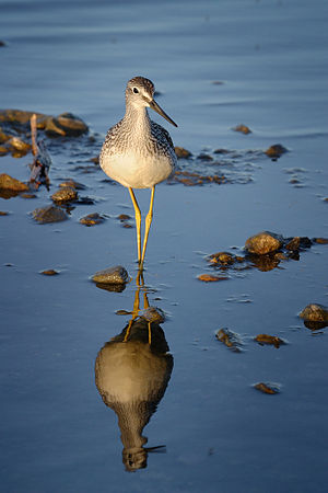 Fishing Yellowlegs.jpg