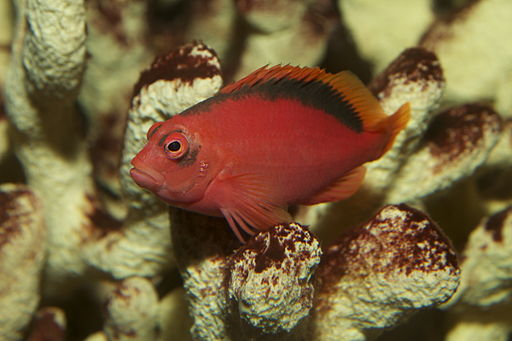 Flame Hawkfish Neocirrhites armatus is a hot beginner saltwater fish