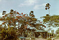 Flame trees in the Botanical Gardens of Georgetown - 1958.jpg