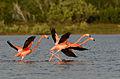 Flamenco Americano, American Flamingo, Phoenicopterus ruber (15599579873).jpg