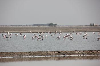 Flamingoes in the Rann.jpg