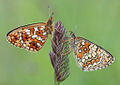 Flickr - Lukjonis - Butterflies - Boria selene - Melitea athalia.jpg