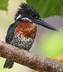 Flickr - Rainbirder - Giant Kingfisher (Megaceryle maxima) male (cropped).jpg