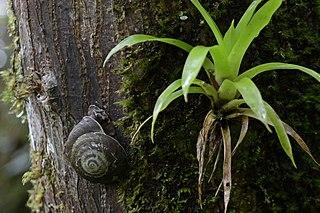 <i>Caracolus</i> genus of molluscs