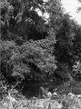Flod och urskogsparti med bl.a. akacior och epifyter. Lokal, San Luis-distriktet, Bolivia. San-Luis - SMVK - 003903.tif