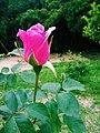 Flor - Rosa.jpg