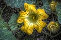 Flor de calabaza (6148232245).jpg