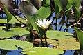 Flor dentro da Lagoa do Marimbus, Pantanal da Chapada Diamantina, Bahia, Brasil.jpg