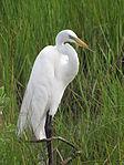 Florida White Egret.JPG