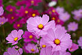 "Flower, Cosmos ""Sensation"" - Flickr - nekonomania.jpg"