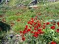 Flower meadow in Kurdistan.jpg