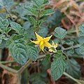 Flower of Solanum lycopersicum.jpg