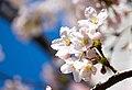 Flower viewing event in Tokyo, Japan; April 2014 (14).jpg