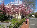 Flowering tree and sidewalk and street and woman in Basking Ridge New Jersey.JPG