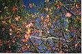 Floweringalmond.jpg