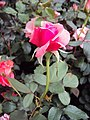 Flowers - Uncategorised Garden plants 165.JPG